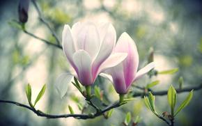 �����: �����, ������, �����, magnolia