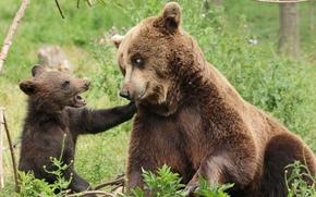 Животные: медведи, медведица, медвежонок, детёныш