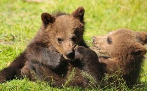 Животные: медведи, медвежата, игры, забава
