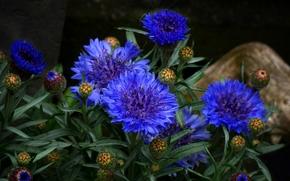 Цветы: васильки, бутончики, макро