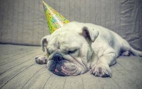 Животные: английский бульдог, собака, сон, отдых