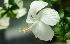 Цветы: гибискус, лепестки, макро