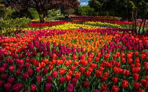 Цветы: парк, цветы, тюльпаны, бутоны, разноцветные, деревья
