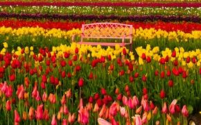 Цветы: Woodburn, Oregon, Вудберн, Орегон, фестиваль тюльпанов, тюльпаны, бутоны, разноцветные, скамейка