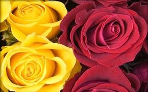 Цветы: розы, цветы, флора