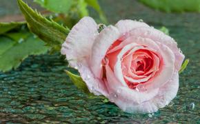 Цветы: роза, бутон, вода, капли, макро