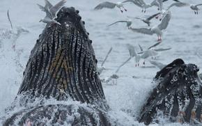 Животные: Горбатый кит, киты, чайки, птицы, Аляска, Тихий океан, океан