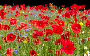 Цветы: лето, луг, маки, ромашки, васильки