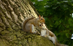 Животные: белки, парочка, влюблённые, беличья любовь, любовь, дерево, кора