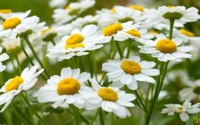 Цветы: ромашки, лето, макро