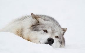 Животные: волк, морда, отдых, зима, снег