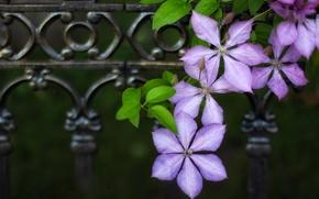 Цветы: клематис, ломонос, макро