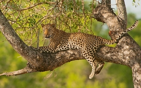Животные: леопард, дикая кошка, дерево, ветки, на дереве, отдых