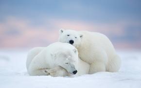 Животные: белые медведи, медведи, парочка, отдых, сон