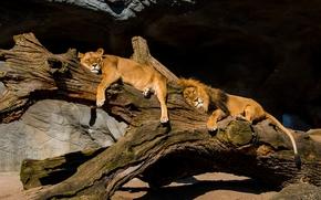 Животные: львы, лев, львица, парочка, отдых, релакс, бревно