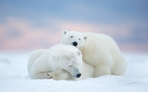 Животные: Polar bears, Arctic National Wildlife Refuge, Alaska, USA