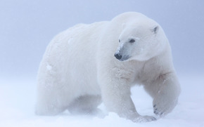Животные: Polar bear, Arctic National Wildlife Refuge, Alaska, USA
