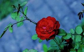 Цветы: цветок, роза, ветки, листья