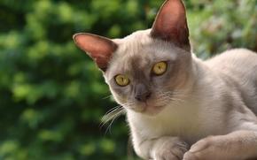Животные: бурманская кошка, бурма, кошка, мордочка