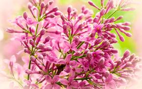 Цветы: ветка, сирень, флора