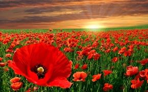 Цветы: маки, поле, закат