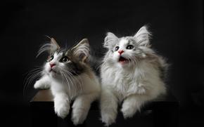 Животные: Норвежская лесная кошка, котята, парочка