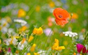 Цветы: маки, мак, эшшольция калифорнийская, луг, лето, макро