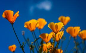 Цветы: маки, эшшольция калифорнийская, макро