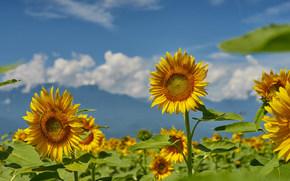 Цветы: подсолнухи, поле, небо, лето