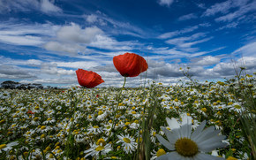 Цветы: ромашки, маки, луг, лето