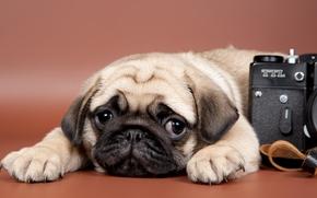 Животные: мопс, собака, щенок, морда, взгляд, фотоаппарат