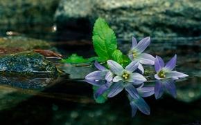 Цветы: колокольчики, вода, отражение, камни, макро