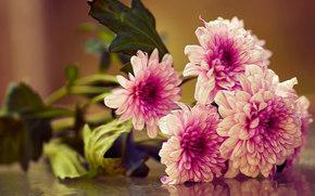 Цветы: хризантемы, букет, макро