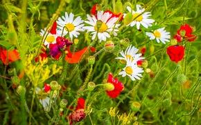Цветы: ромашки, маки, лето