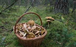 Обои Природа: Грибы, корзина, лес, мох, осень, прогулка, природа, еда