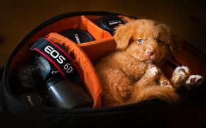 Животные: Новошотландский ретривер, собака, щенок, кофр, фотоаппарат