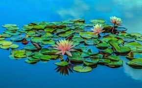 Цветы: водяная лилия, нимфея, кувшинка, листья, вода