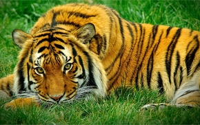 Животные: тигр, взгляд, хищник