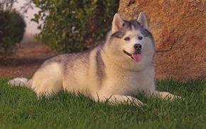 Животные: хаски, собака, трава, отдых