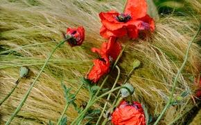 Цветы: маки, ковыль, природа