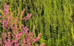 Цветы: Cherry, цветы, флора