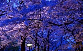Цветы: Cherry, цветы, флора, ночь