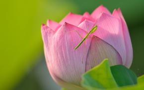 Цветы: лотос, богомол, насекомое, макро