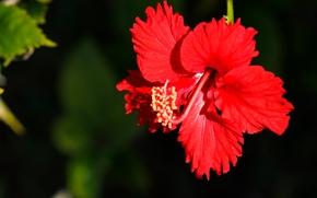 Цветы: гибискус, красный, лепестки, макро