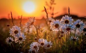 Цветы: ромашки, закат, природа