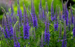 Цветы: вероника колосковая, вероника, луг