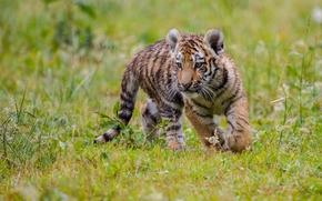 Животные: тигр, тигрёнок, котёнок