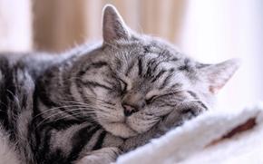 Животные: спящий кот, кот, сон, отдых