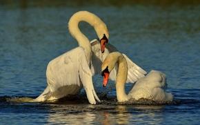 Животные: лебеди, птицы, парочка, любовь, крылья, вода