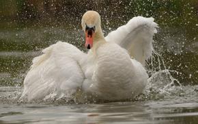 Животные: лебедь, птица, крылья, вода, брызги